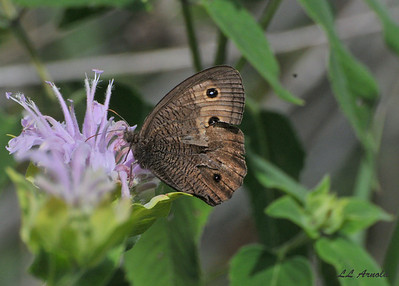 Common Wood Nymph
