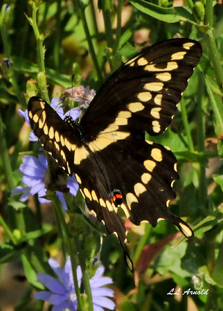 Giant Swallowtail, they are large and beautiful.