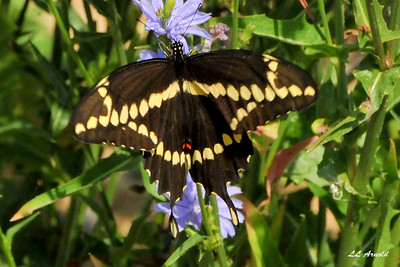 This is a beautiful Giant Swallowtail