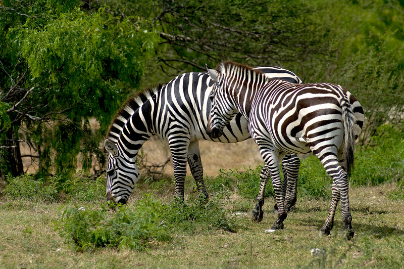 African Plains Zebra
