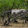 African Plains Zebra breaks for cover into the scrub