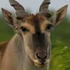 African Eland - Head Shot