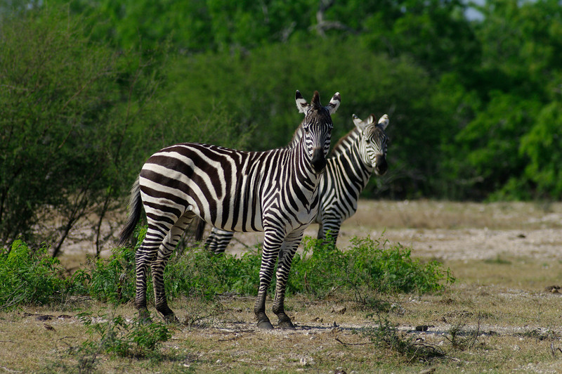 African Plains Zebras