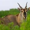 African Eland - Bull