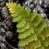 Tundra Fern