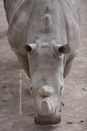 Rhino Head on