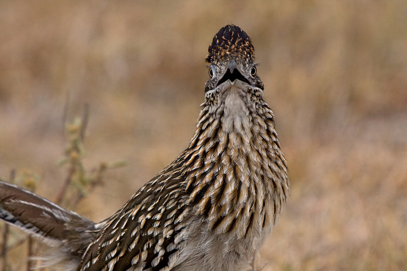 Male Greater Roadrunner