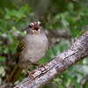 Olive Sparrow - cropped shot of this little songbird.