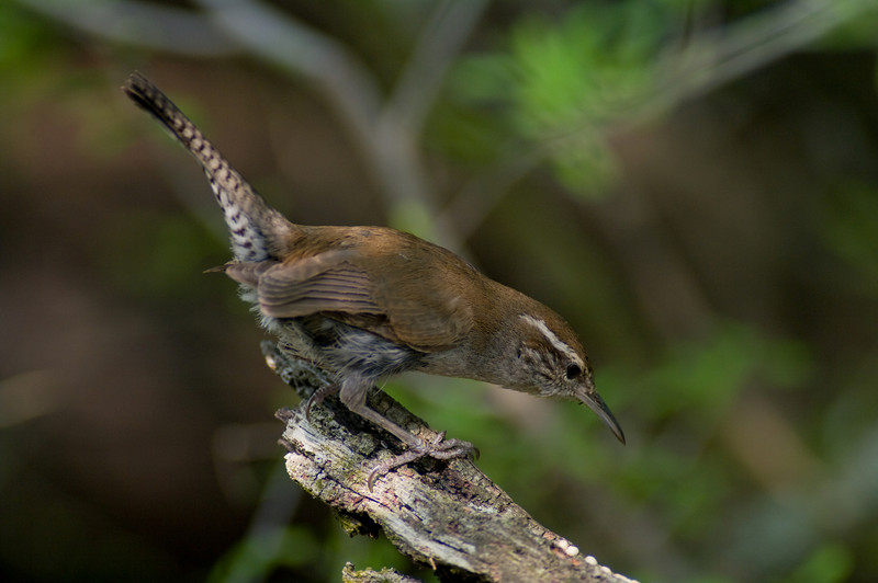 Bewick's Wren - part of a nesting pair in a mesquite tree in front of the cabin I used for the competition.