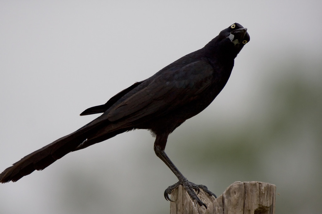 Great Tailed Grackle <BR> (I always chuckle it's comical expression)