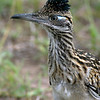 Female Greater Roadrunner