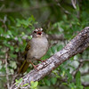 Olive Sparrow - uncropped shot of this little songbird.