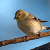 Goldfinch - winter plumage