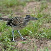 Female Greater Roadrunner with a small insect.