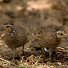 Female Northern Bobwhites (Quail)