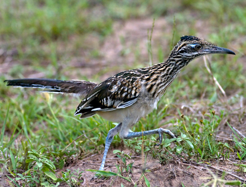 Female Greater Roadrunner at full stride