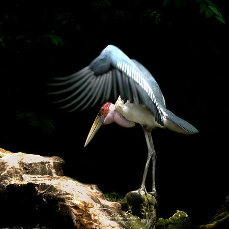 "Marabou Stork - Because of its daunting and sinister appearance, people often refer it as the ""undertaker bird."""