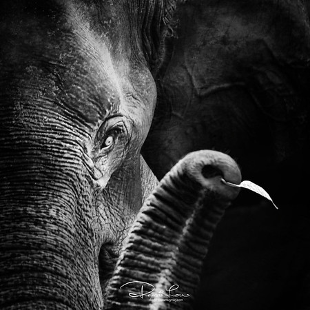 This mammoth animal is known to uproot trees with their trunk, but can be equally delicate and tender enough to pick up bits of little leaf.  I have learnt to always expect the unexpected when seeing thru' the view finder.