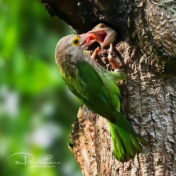Lineated Barbet - 2nd chick