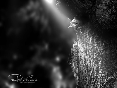 A ray of new life - Lineated Barbet