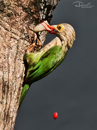 Lineated Barbet - 1st chick