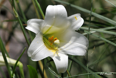 Backyard Lillies