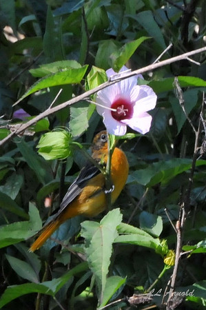 Female Oriole