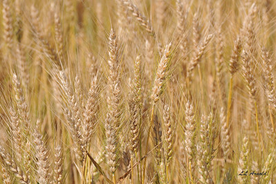 Bearded Wheat