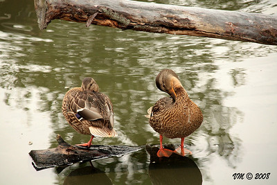 'Quick!  Clean up...he's taking a picture!'  Ducks at Granby Zoo, Canada (outside Montreal)