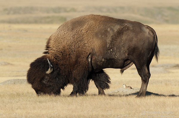 Plains bison and black-tailed prairie dog in Grasslands National Park, Saskatchewan
