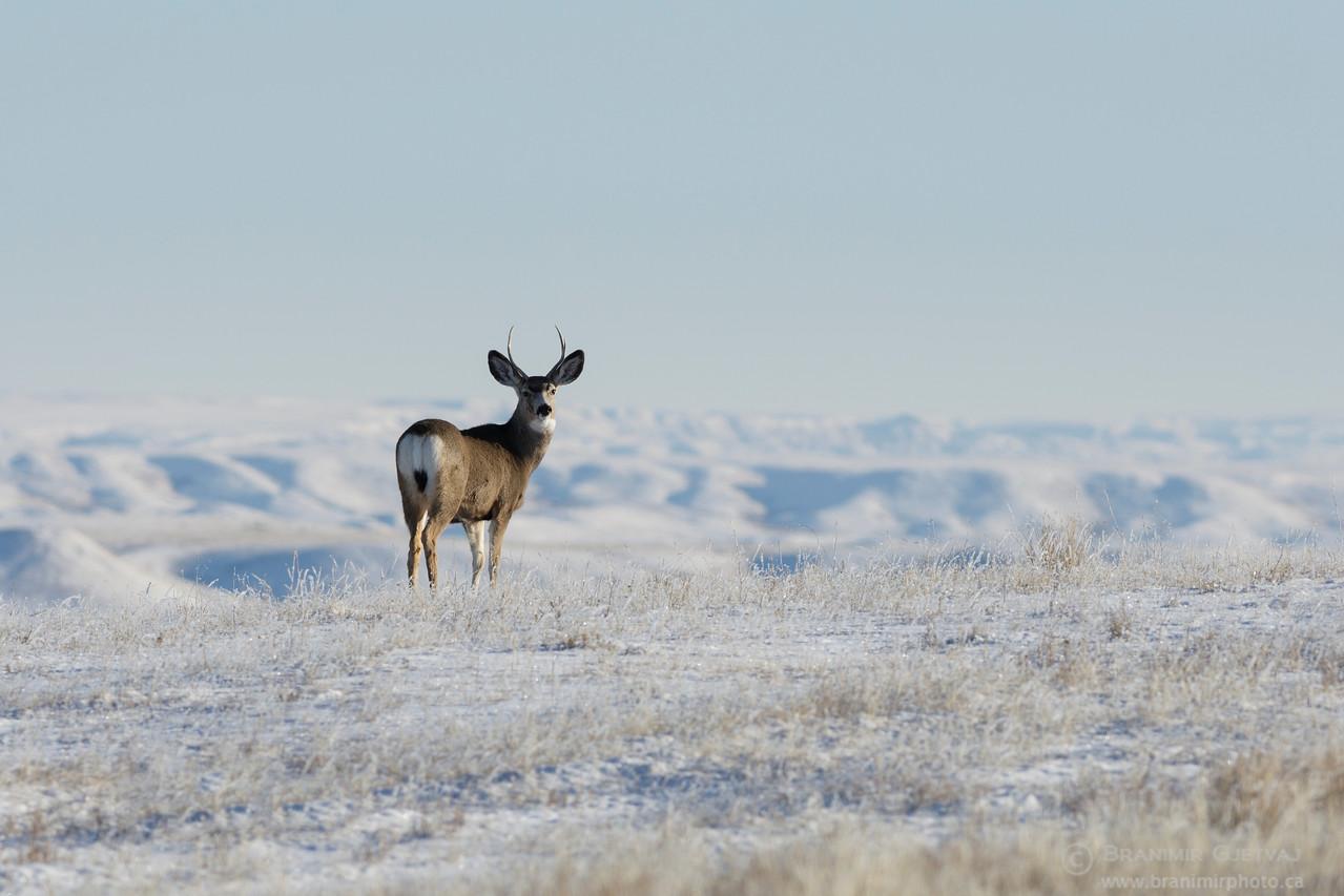 Mule deer in snow-covered prairie. Grasslands National Park