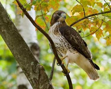 Red Tailed Hawk, Kendall Mountain Road, Tolland, CT