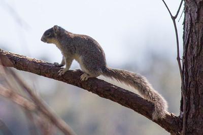 Fox Squirrel IMG_4659
