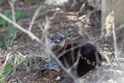 River Otter IMG_4567