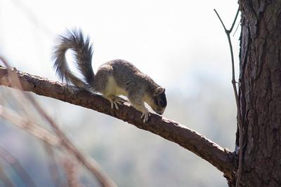 Fox Squirrel IMG_4662