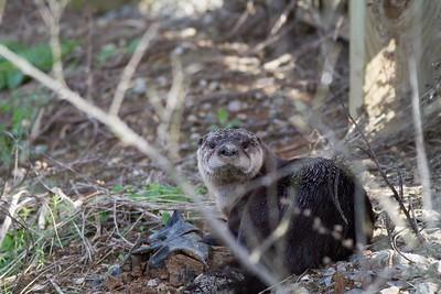 River Otter IMG_4568