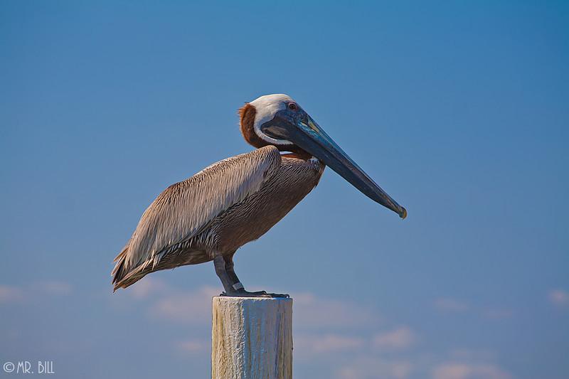 Pelican @ St. Petersburg, Fl