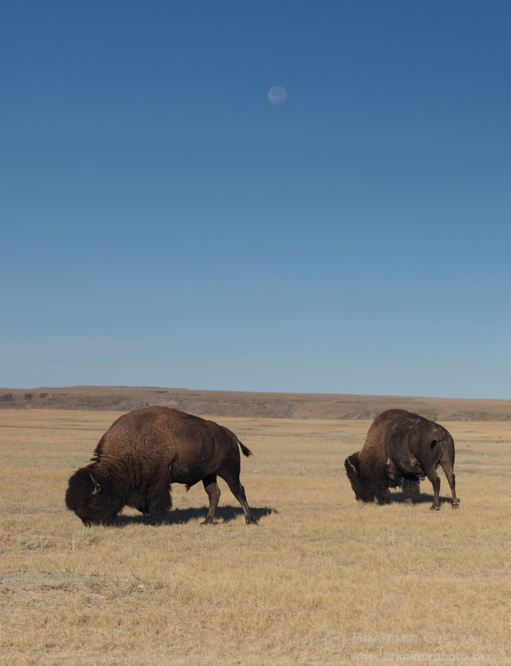 Two plains bison and harvest moon. Grasslands National Park, Saskatchewan