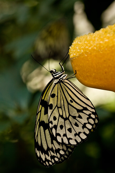 Butterfly prepares for lunch.