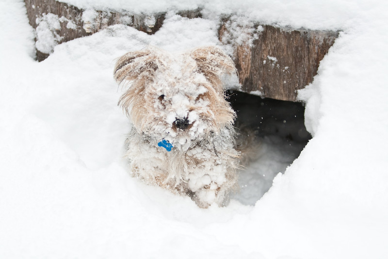 Chewbacca the rare snow terrier