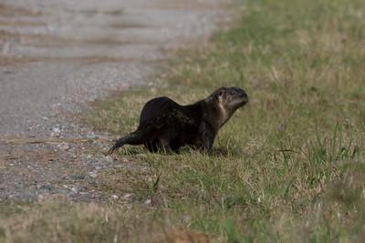 River Otter IMG_4571