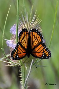 Beautiful Butterfles