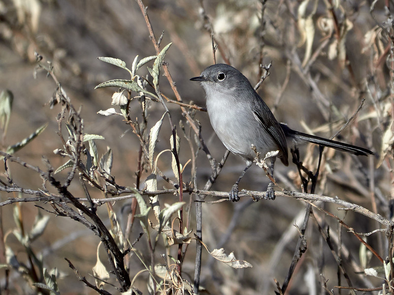 Blue-Grey Gnatcatcher, Arizona
