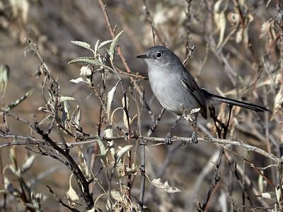 Blue-Grey Gnatcatcher, Arizona