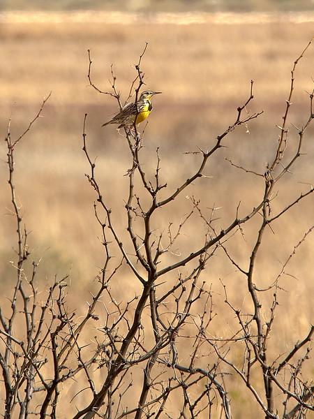 Western Meadowlark, Arizona