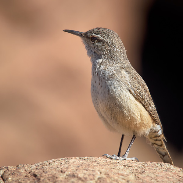 Rock Wren, Arizona