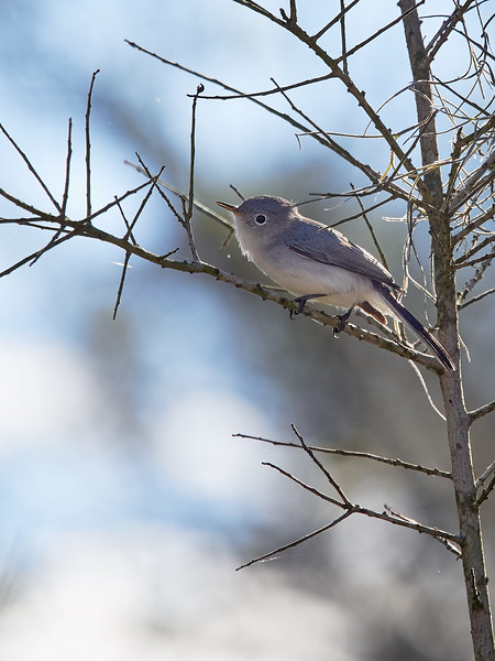 Bluegray Gnatcatcher, Texas