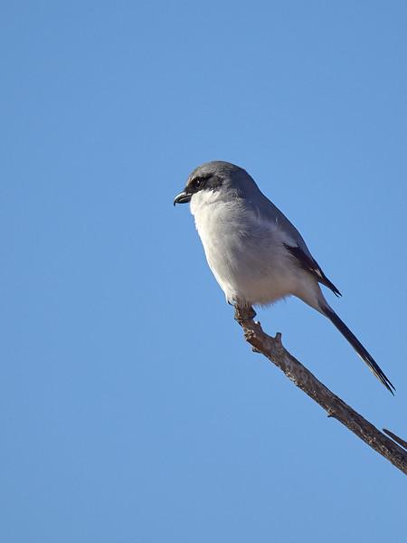 Loggerhead Shrike, Arizona