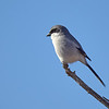 Loggerhead Shrike, Arizona