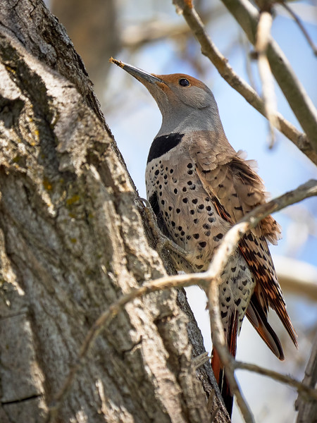 Northern Flicker, Female, Utah